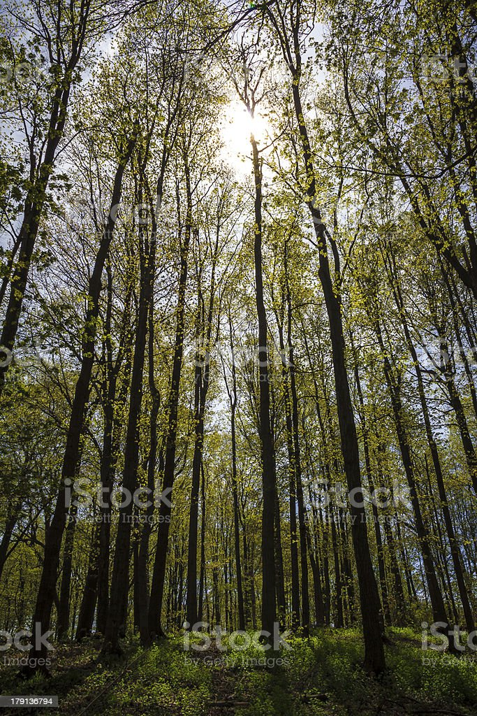 Sun Breaking Through Tree Canopy royalty-free stock photo