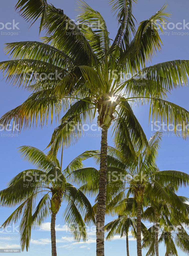 Sun bursts through the palms in San Diego. (P) royalty-free stock photo