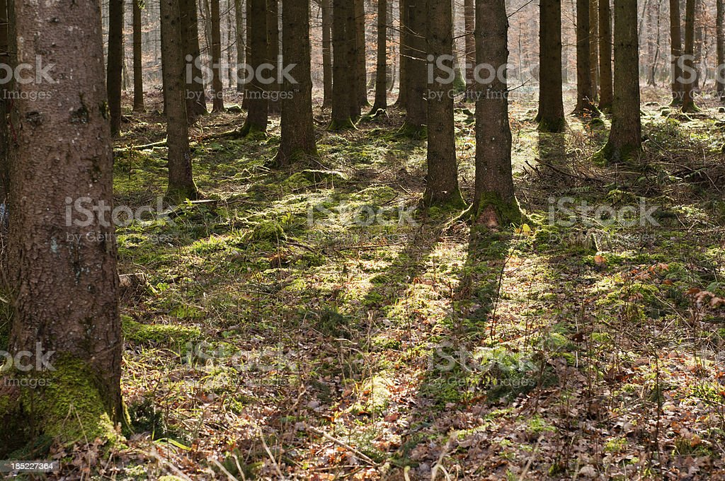 Sun casts shadows in a pine forest, Germany stock photo