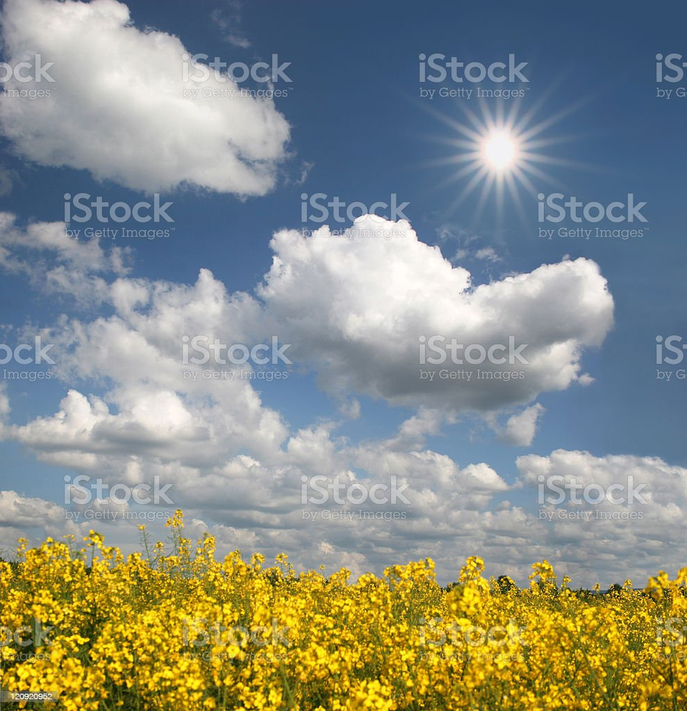 Sun, clouds and rape field background royalty-free stock photo