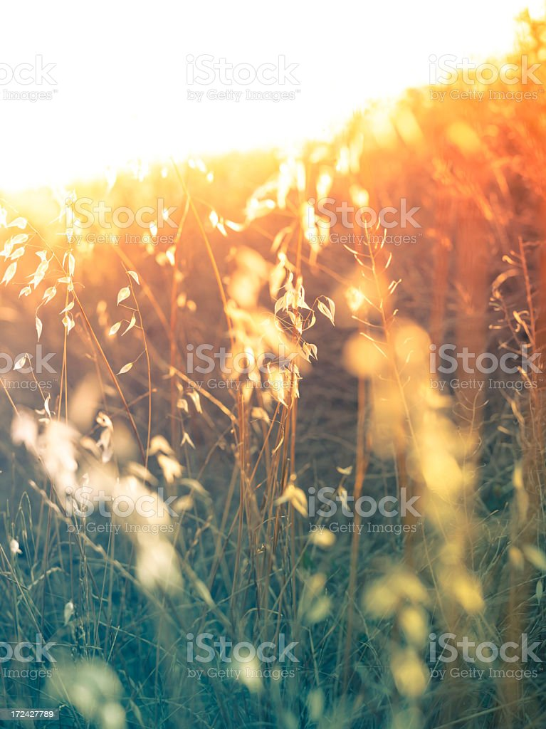 Sun coming through wildflowers in meadow royalty-free stock photo