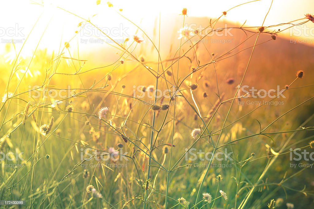 Sun coming through wildflowers in meadow stock photo