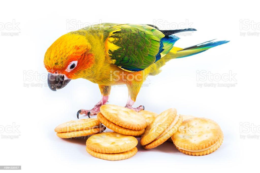 Sun conure bird and cracker royalty-free stock photo