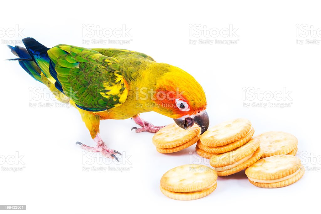 Sun conure bird and cracker royalty-free stock photo