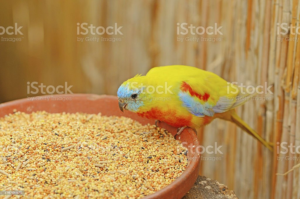 Sun Conure bird feeding on grain stock photo