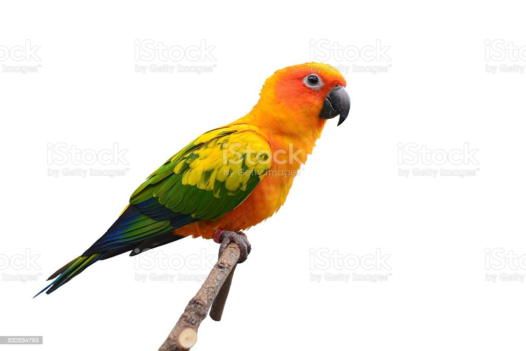 Sun Conure bird stock photo
