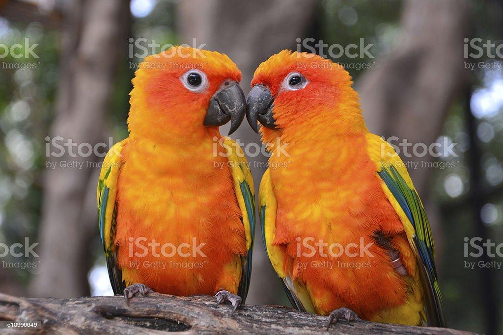Sun Conure parrot bird stock photo