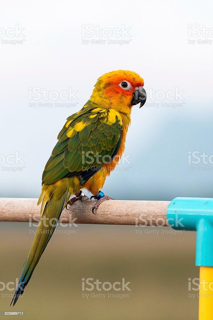 Sun conure parrot ,bird stock photo