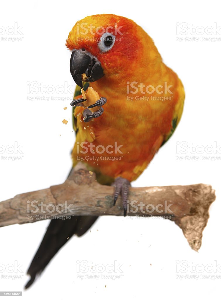 Sun Conure Parrot Eating a Snack stock photo