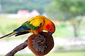 Sun Conure parrot eating sunflower seeds