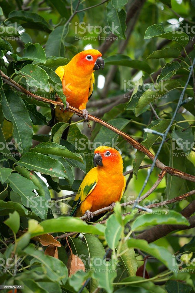 Sun conure parrot on the tree stock photo