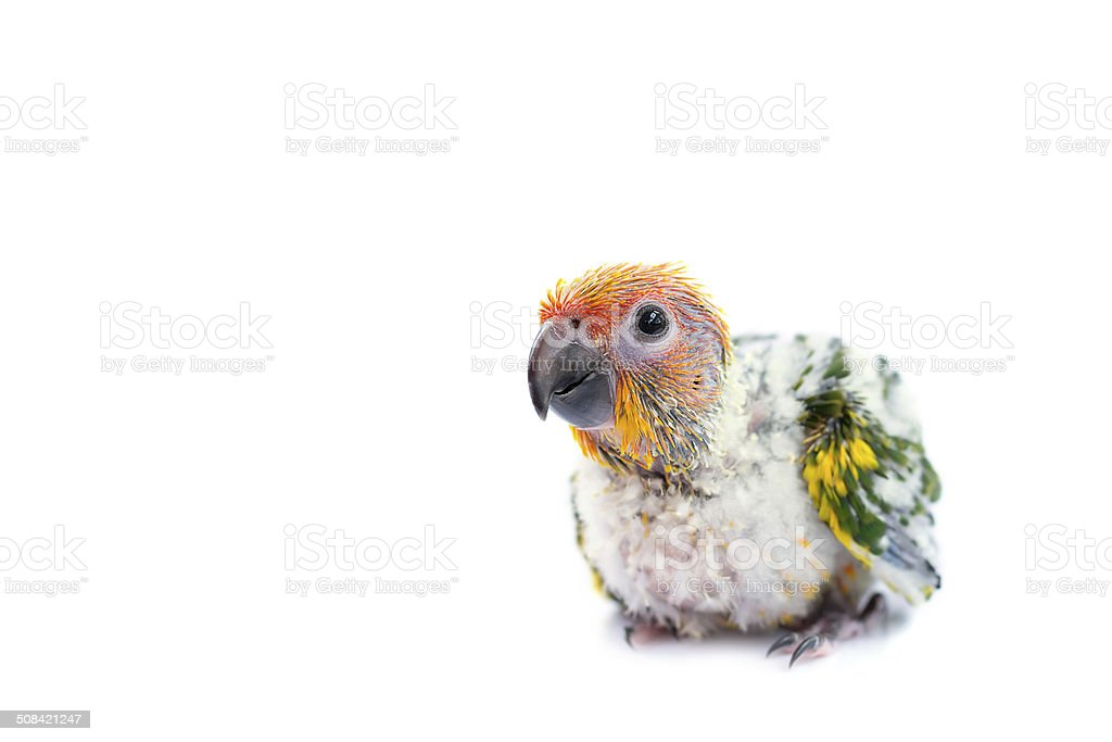 Sun conure parrot on white background. stock photo