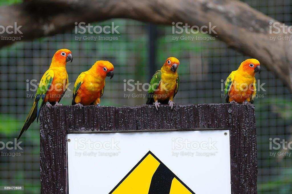 Sun conure parrot stock photo