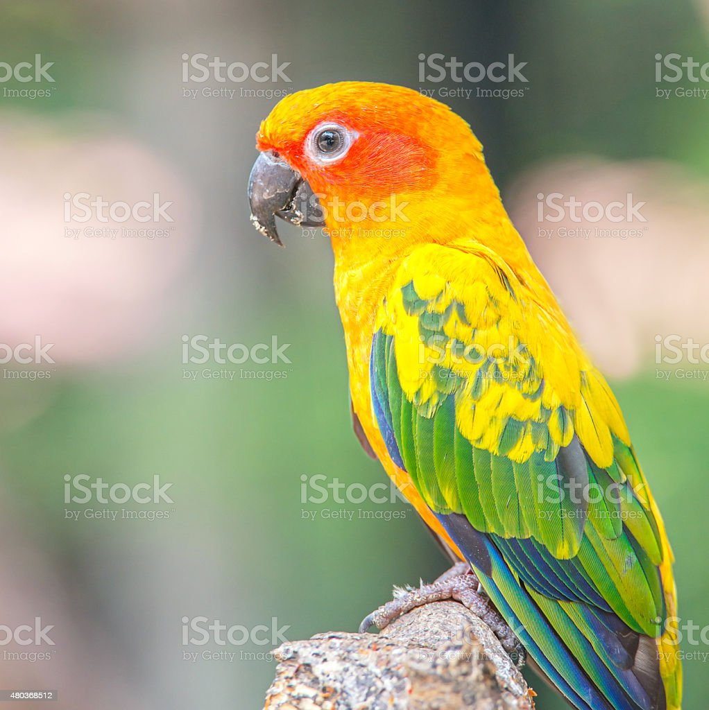 Sun Conure parrot standing at branch stock photo