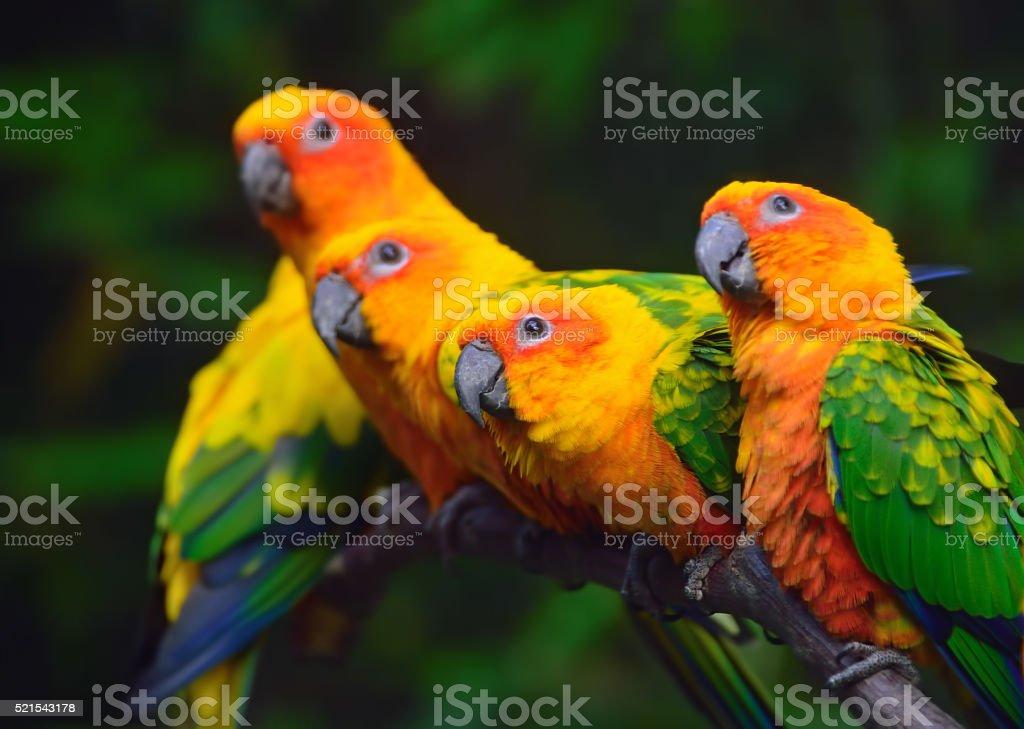 sun conure parrots stock photo