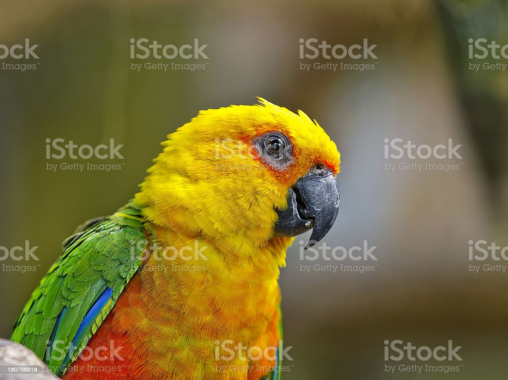 Sun Conure (Parakeet) stock photo