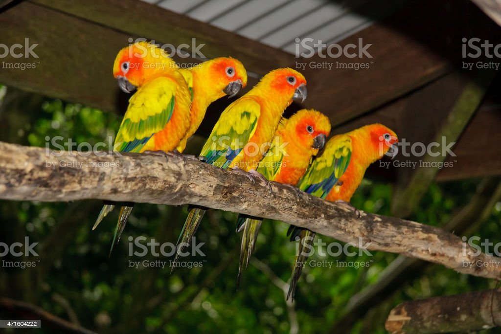Sun Conures on a branch in a row stock photo