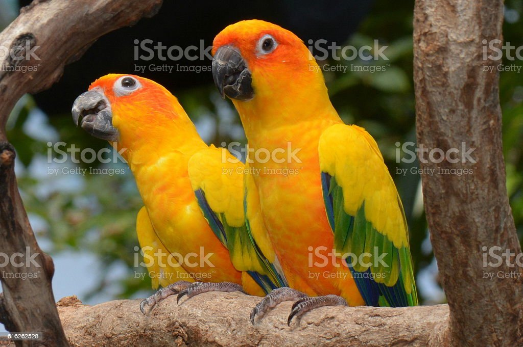 Sun conures perched on a branch stock photo