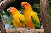 Sun conures perched on a branch