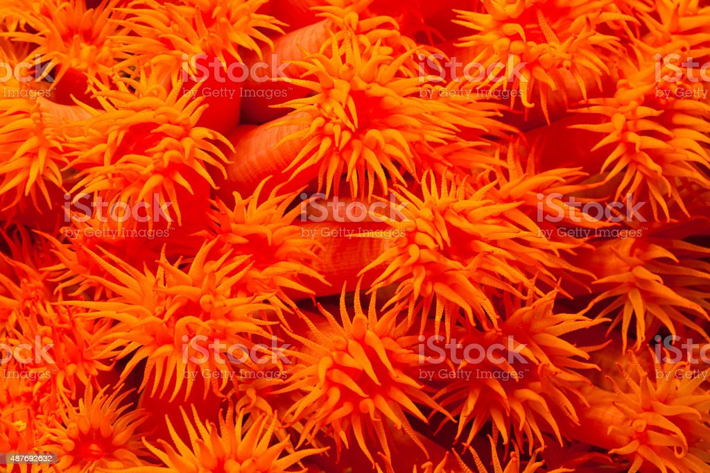 Sun Corals at Rinca Island, Komodo, Indonesia stock photo