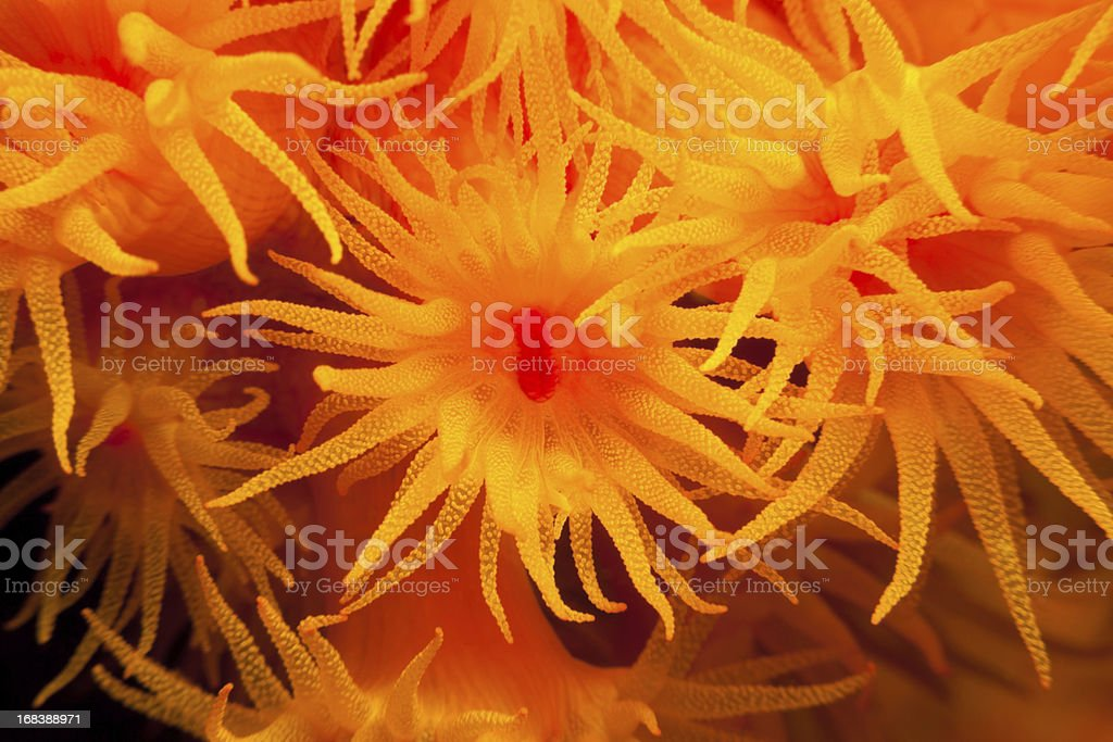 Sun Corals Tubastraea faulkneri feeding at night, Lembeh Strait, Indonesia royalty-free stock photo