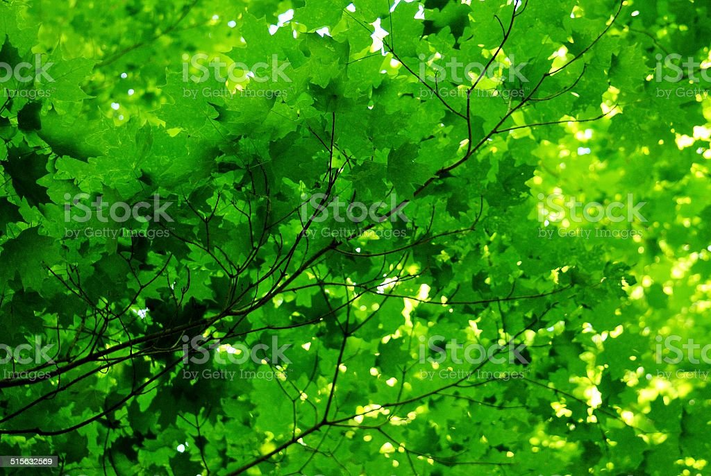 Sun Dappled Maple stock photo