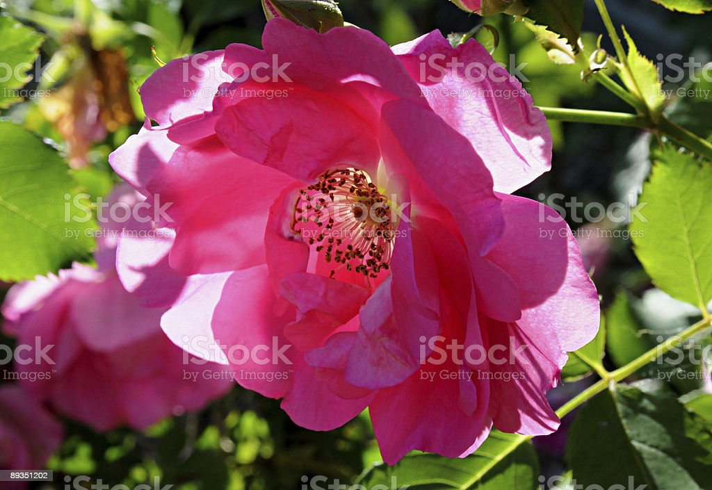 Sun dappled pink rose stock photo
