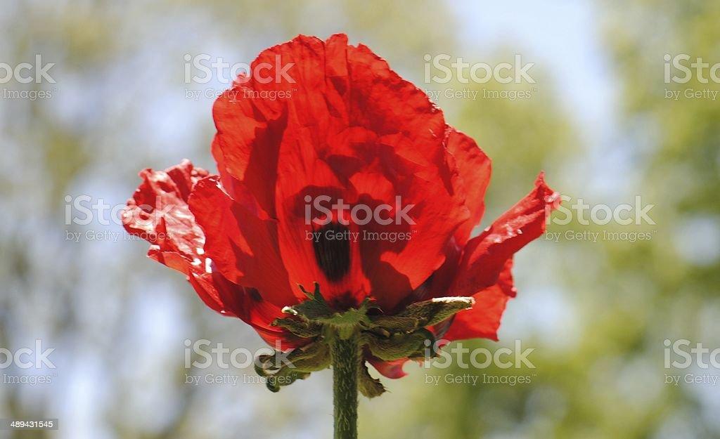 Sun Dappled Poppy royalty-free stock photo