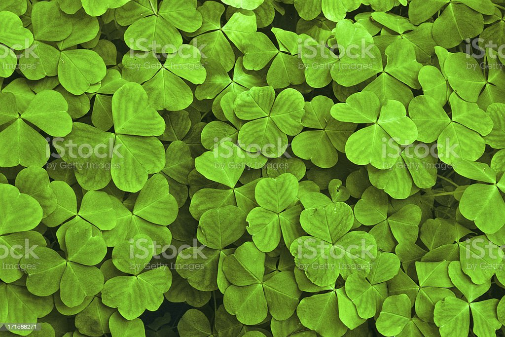 Sun Dappled Shamrock Leaves stock photo