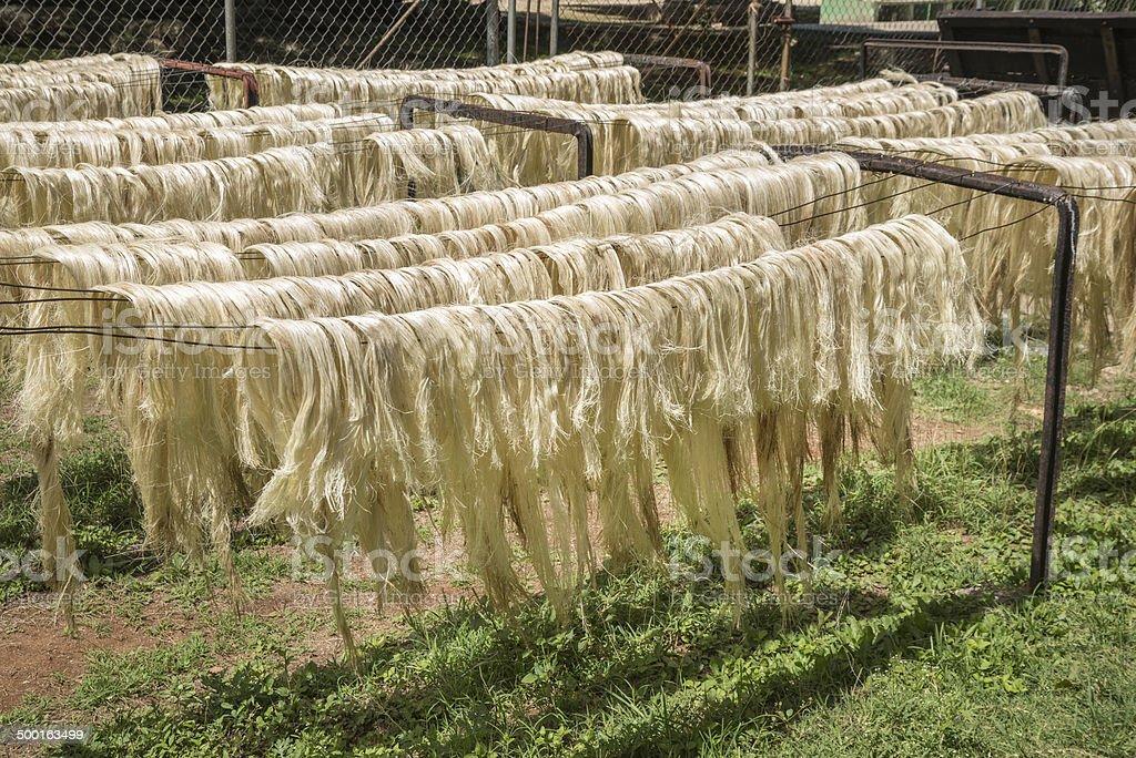 Sun dried cactus fibers stock photo