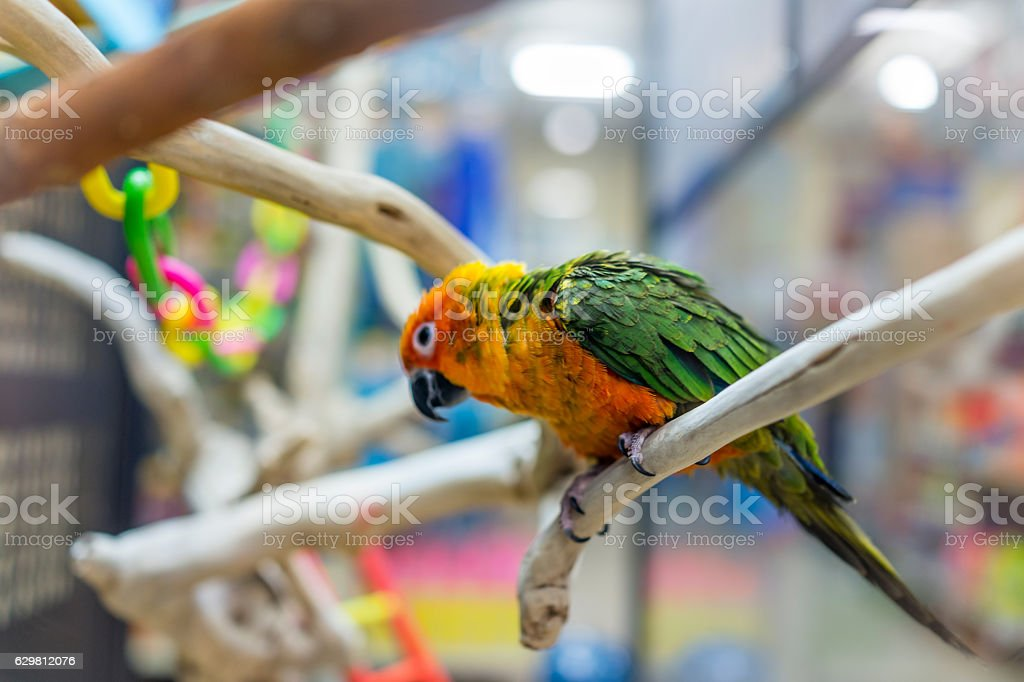 Sun fancy conure colorful parrot from the side stock photo