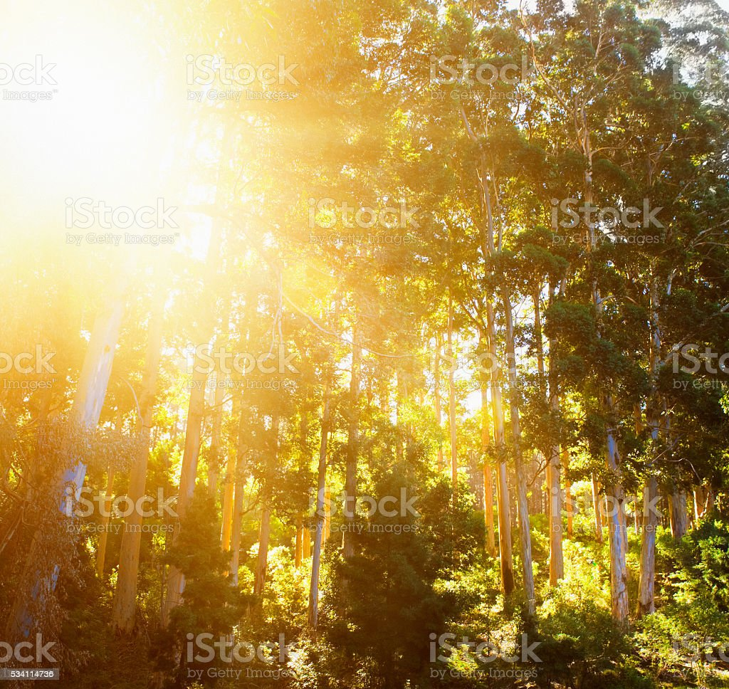 Sun filtering through leaves of tall Bluegum Eucalyptus forest trees stock photo
