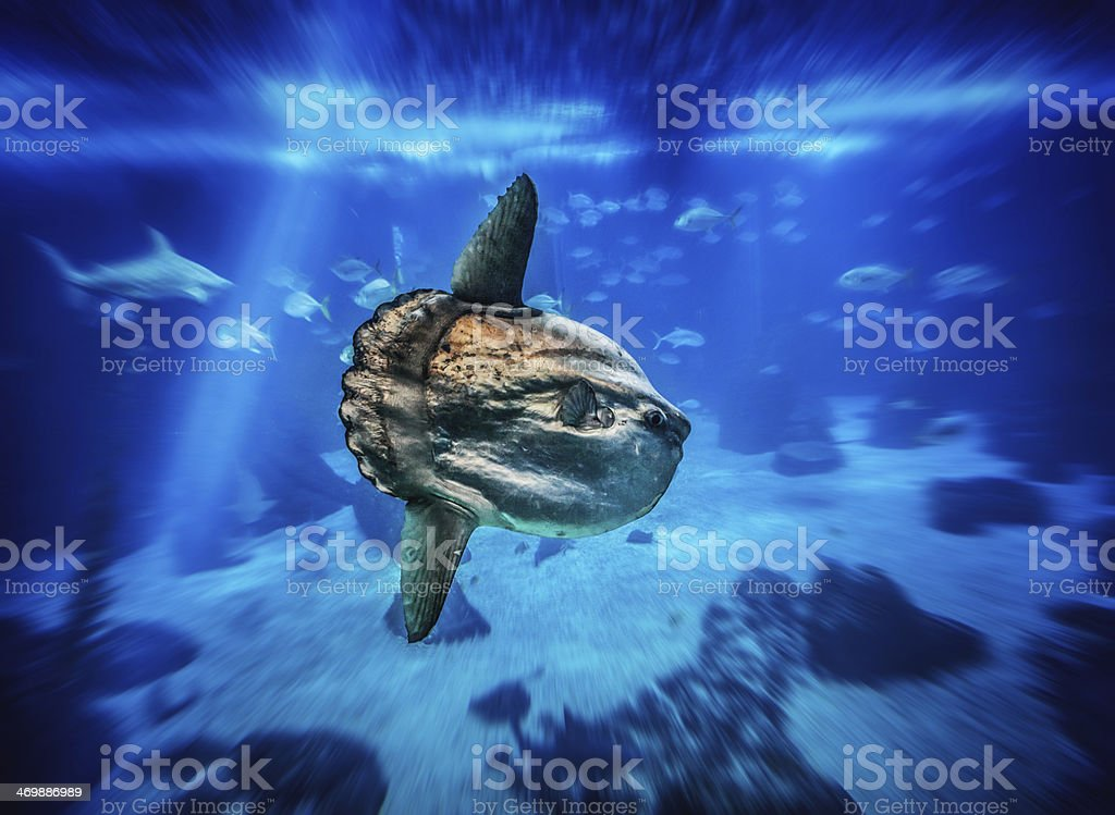 Sun Fish in a big blue aquarium stock photo