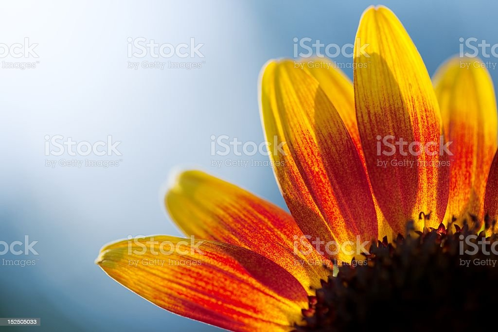 Sun flower abstract royalty-free stock photo