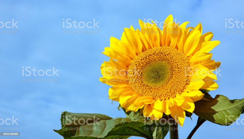 Sun flower against a blue sky stock photo