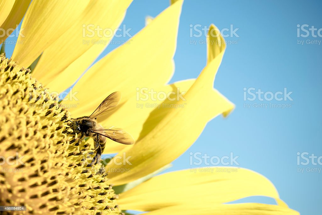 Sun flower and Bee royalty-free stock photo