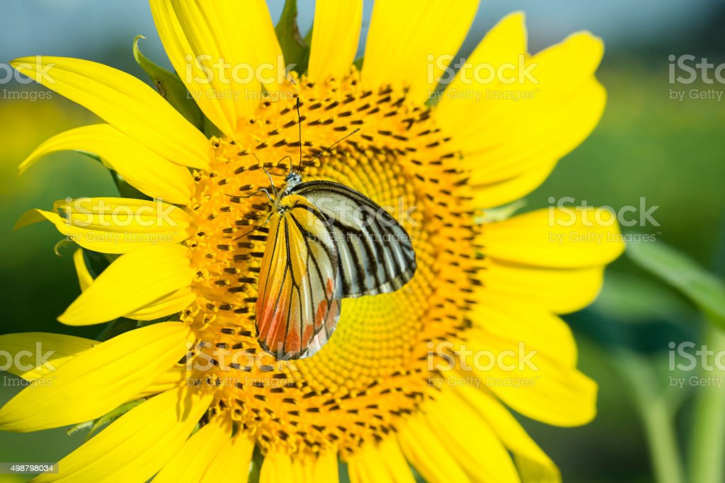 Sun flower and butterfly. royalty-free stock photo