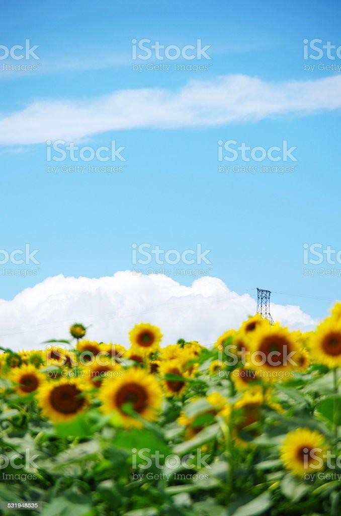 sun flower and white clowd stock photo