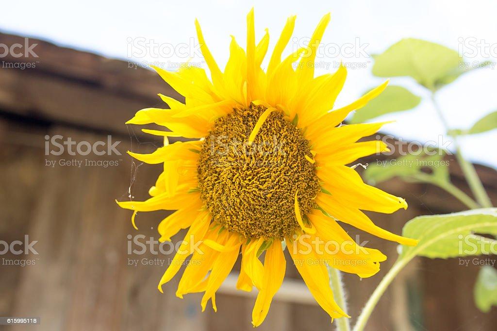 Sun flower Battambang Cambodia South East Asia stock photo