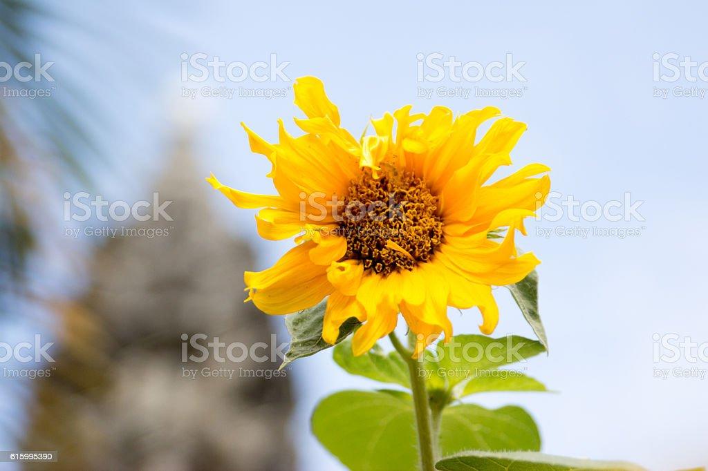 Sun flower, Battambang, Cambodia, South, East, Asia stock photo