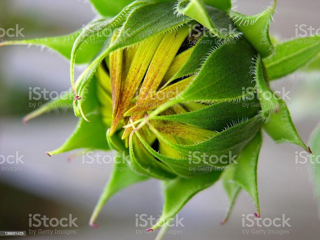 Sun Flower Bud royalty-free stock photo