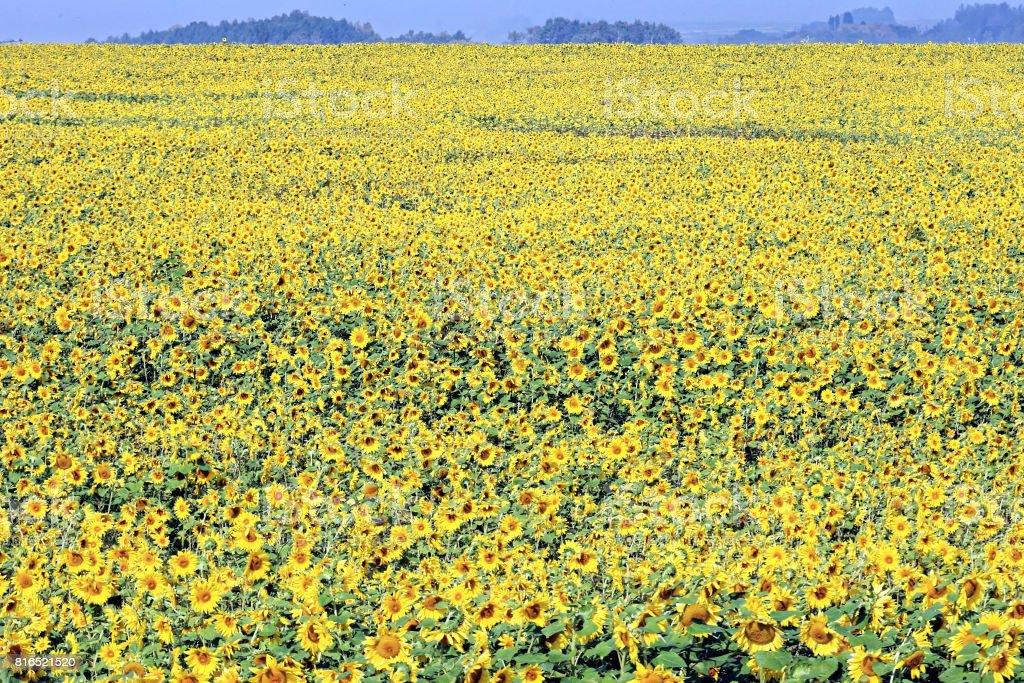 Sun Flower field in Hokkaido stock photo