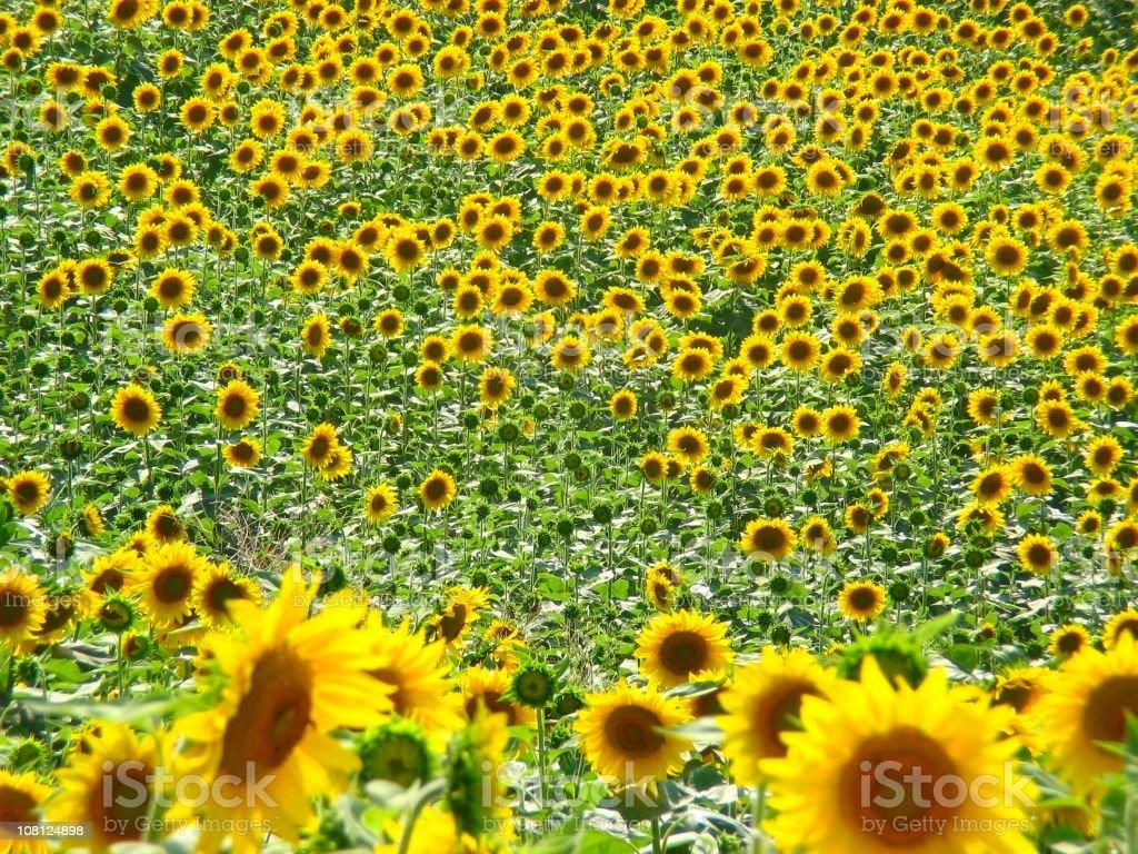 Sun flower field royalty-free stock photo