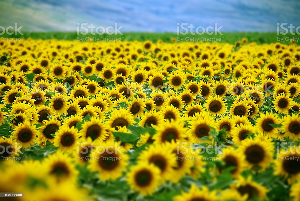 Sun Flower Field royalty-free stock photo