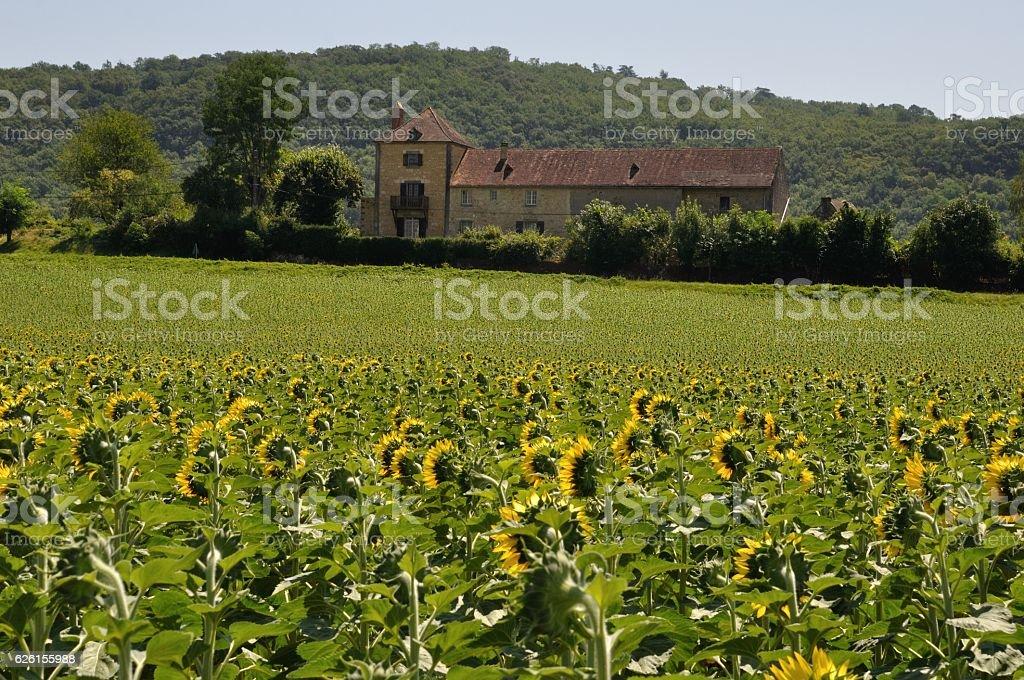 sun flower field stock photo