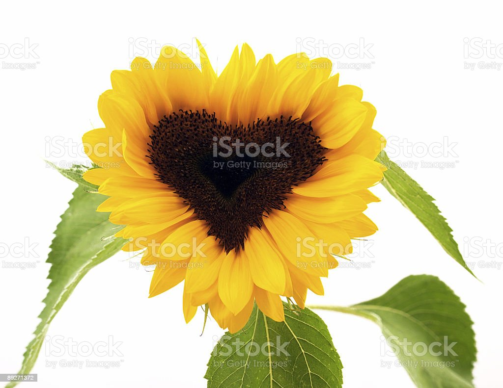 sun flower heart shape stock photo