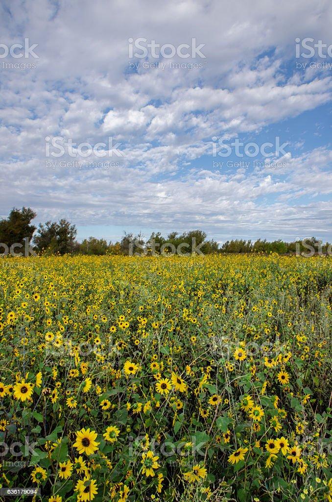 Sun flower meadow stock photo