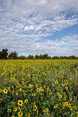 Sun flower meadow