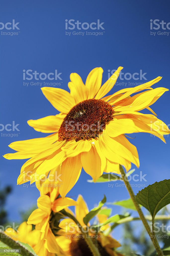 Sun Flower royalty-free stock photo