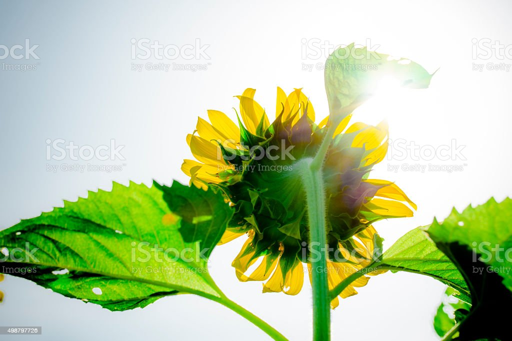 Sun flower. royalty-free stock photo